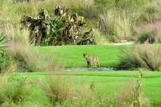 Natural wonders on the golf course. - Hammock Bay @ the Marco Island Marriott Resort.