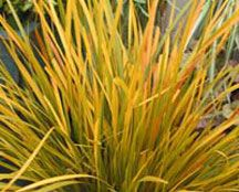 Libertia Goldfinger - Looking for fantastic golden yellow foliage in the garden? This is the plant for you. The elegant weeping foliage of this exciting new selection has a prominent golden yellow central stripe. Profusions of pure white star like flowers are produced in clusters just clear of the foliage from mid spring, followed by attractive large yellow berries in autumn. This delightful little plant really packs a punch and is ideal to provide unique color to low maintenance pots and…