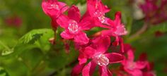 Grosellero de flor