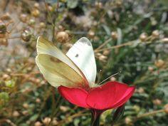 Piéride du chou (Pieris Brassicae)