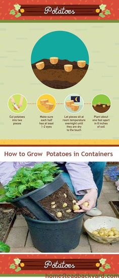 You Will Not Buy Potatoes Again, You can always have them in plenty by just planting them in a flower pot