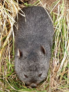 Tasmanian wombat, via Flickr.