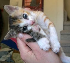 Tiny Calico with a Strong Will to Live. - What a sweetie pie!!!