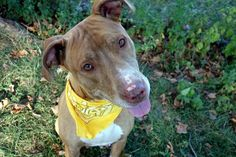 SAFE❤️❤️ 9/20/16 Manhattan center BABY – A1089166 **SAFER : EXPERIENCED HOME / NO YOUNG CHILDREN** FEMALE, BROWN / WHITE, PIT BULL MIX, 4 yrs OWNER SUR – EVALUATE, NO HOLD Reason OWN EVICT Intake condition UNSPECIFIE Intake Date 09/09/2016, From NY 10460, DueOut Date 09/12/2016,