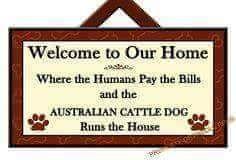 Australian cattle dog runs the house