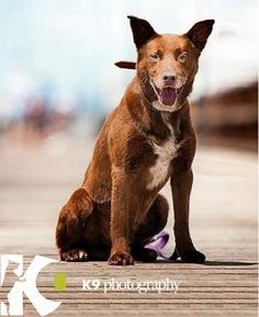 Red Dog, hero in the movie with the same name