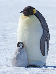 Mama y bebe pinguino Emperador