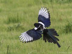 Yellow-billed Magpie..