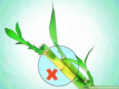 How to Grow Lucky Bamboo: 12 Steps (with Pictures) - wikiHow