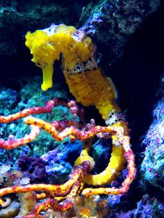 Seahorses cling to something solid to avoid being swept away...