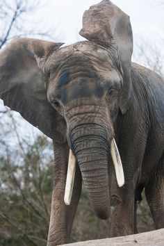 African elephant                                                                                                                                                                                 More