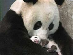 Funny pictures about A mother panda and her little cub. Oh, and cool pics about A mother panda and her little cub. Also, A mother panda and her little cub photos. Cute Baby Animals, Animals And Pets, Funny Animals, Baby Pandas, Giant Pandas, Wild Animals, Animal Babies, Panda Babies, Bear Animal