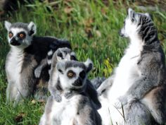 Lemurs, Camperdown Wildlife Park