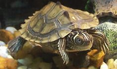 Mississippi Map Turtle get their name from the lines and markings on their carapace which resemble the contour lines of a map.
