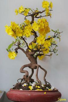 Bonsai - Species isn't named, but it looks like a jasmine