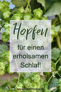 Der Hopfen ist in Deutschland eine sehr beliebte und bekannte Pflanze. Er wird hauptsächlich für die Bierherstellung verwendet. In der Natur findet man nun wilden Hopfen. Er wird vor allem bei Schlafstörungen geschätzt. Man kann zum Beispiel einen Tee oder ein tolles Kräuterkissen daraus machen. Wofür er noch verwendet werden kann und wie er für Männer und Frauen in der Volksheilkunde eingesetzt wird, erfahrt ihr in diesem Beitrag.