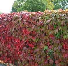 Buy Parthenocissus tricuspidata 'Veitchii' Boston ivy: Vigorous climber, with glossy leaves and fabulous autumn colour Evergreen Climbers, Evergreen Vines, Garden Shrubs, Garden Plants, Fast Growing Climbers, Creepers, Boston Ivy, Hydrangea Paniculata, Living Fence