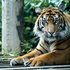 Staring Tiger | Flickr - Photo Sharing!