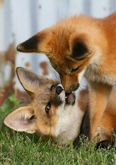 RED FOXES, PLAYTIME