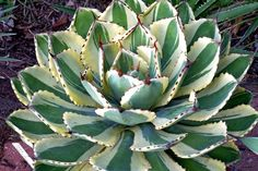 Agave Desert Diamond PP 26384 aka Desert Diamond Century Plant. Grows in Sun. Flower Color is Yellow/Gold and blooms in Summer. Hardiness zone 9a, 9b, 10a, 10b. Characteristics: Deer Resistant Plants, Drought Tolerant Plants, Fragrant Flowers, Hummingbird Plants, Insect Attracting Plants, Medicinal Plants, North American Native Plants, Ornamental Seed or Fruit, Plants that Attract Birds, Salt Tolerant Seaside Plants, Tropical Looking Plants, Xeriscaping Plants, Colored Foliage, Patterned…