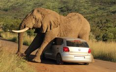 Elephant damages car and terrorizes its passengers in Pilanesburg National Park. Photo by Armand Grobler Photography used by permission.  (The car didn't make it, but the passengers are okay, with an experience they will never forget!)