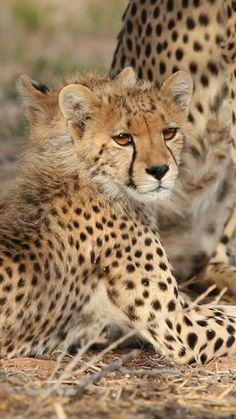 Nature Animals, Zoo Animals, Animals And Pets, Funny Animals, Cute Animals, Wild Animals, Beautiful Cats, Animals Beautiful, Wildlife Photography
