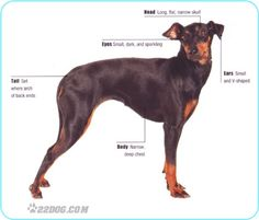 Manchester Terrier Pictures, Information, Care Requirements and Other ...