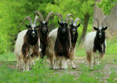 Rare Breed Goats - Bagot Goats