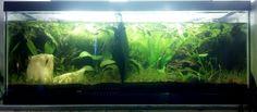 Low light 20g divided dirt tank. Bettas, oto catfish and pygmy cory catfish.