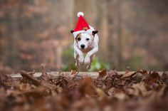 Jack Russell Winter Christmas Jump by Heavenly Pet Photography #dog #running #hat #cute #woods #nature