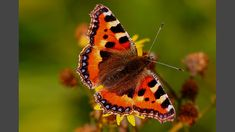 BBC Two - Springwatch, Springwatch Guide to Butterflies and Moths, UK butterfly collection - Small tortoiseshell butterfly (female) Green Library, Moth Caterpillar, Bbc Two, Wild Creatures, Tortoise Shell, Beautiful Creatures, Butterfly, Female, Wildlife