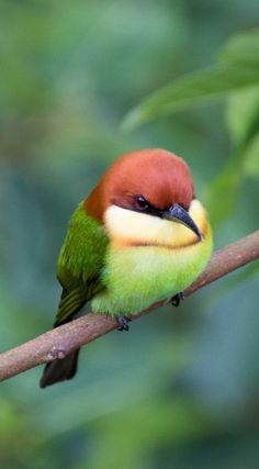 SOPPY SUNDAY : The chestnut-headed bee-eater (Merops leschenaulti), or bay-heade. - SOPPY SUNDAY : The chestnut-headed bee-eater (Merops leschenaulti), or bay-headed bee-eater, is a n - Cute Birds, Pretty Birds, Small Birds, Little Birds, Colorful Birds, Beautiful Birds, Animals Beautiful, Cute Animals, Tiny Bird