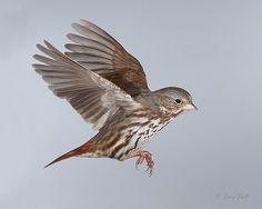 sparrow in flight | ... Birds >> Sparrows Including In Flight > Fox Sparrow in Flight 19-1.jpg