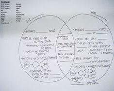Meiosis Worksheet Answer | ABITLIKETHIS