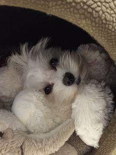 Cuddly baby Maltese
