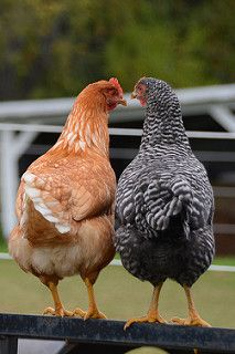 """Frequency Needed To Clean The Coop While chickens may be """"simple"""" animals, they still like to feel comfortable and part of that comfort involves Beautiful Chickens, Beautiful Birds, Animals Beautiful, Bon Couple, Farm Animals, Cute Animals, Chicken Art, Chicken Quotes, Chickens And Roosters"""