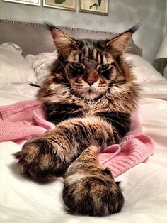 George the Maine Coon http://www.mainecoonguide.com/health/