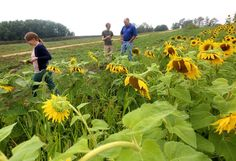Sunflowers bloom into a business at UW-Platteville : Wsj