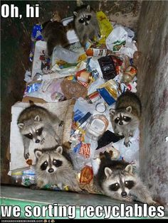 How would you like to open up your dumpster and find 6 (7?) racoons?  What a hoot!