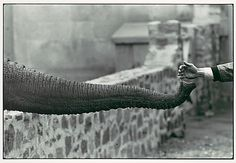Winogrand, Garry (1928-1984) - 1963 Hand Feeding Elephant Trunk, Zoo by RasMarley, via Flickr