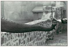 Winogrand, Garry (1928-1984) - 1963 Hand Feeding Elephant Trunk, Zoo by RasMarley, via Flickr