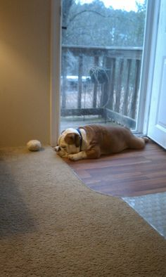 So sad the kids left. Tank my english bulldog