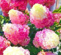 Hortensje bukietowe – przegląd nowych odmian - Allegro.pl Nikko, Bonsai, Lagerstroemia, Gardening, Blue, Lawn And Garden, Horticulture, String Garden
