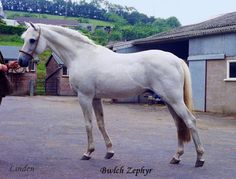 Bwlch Zephyr (Bwlch Valentino x Miss Minette) this lovely pony photographed in his older years at Rosevean Stud was Bwlch Valentino's most influential son and his name appears in most of the top imported ponies' pedigrees.