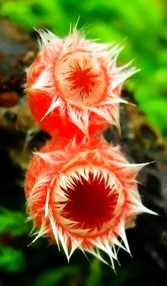 Pink Fringed Fairy Cups