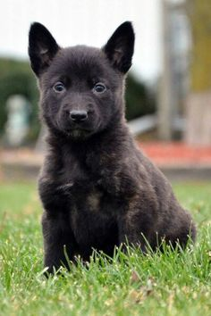 271 Best Dutch Shepherd Images On Pinterest Belgian Malinois