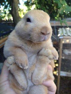 Hazel, 4 week old mini rex bunny, looks like he has no ears ^_^