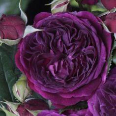 Rosier Purple Lodge® 'Ora 2437' Arbuste de petite taille, aux rameaux épineux, cultivé pour ses jolies fleurs colorées et parfumées, très utilisées en fleurs coupées et pour ses fruits très décoratifs restant longtemps sur l'arbuste.  Forme érigée buissonnante