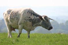 Ludlow Rare Breed Cows Photo - #rarecowbreeds