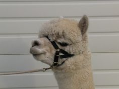One of the easiest things to do to get a positive change in your alpacas attitude and performance is to pay attention to halter fit. A well fitting halter should fit well up on the nose bone and stay there NO MATTER WHAT and still offer room in the nose band for movement of the jaw.